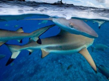 Des requins à pointes noires de retour en Thaïlande