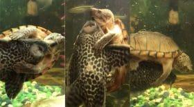Un poisson et une tortue en rodeo