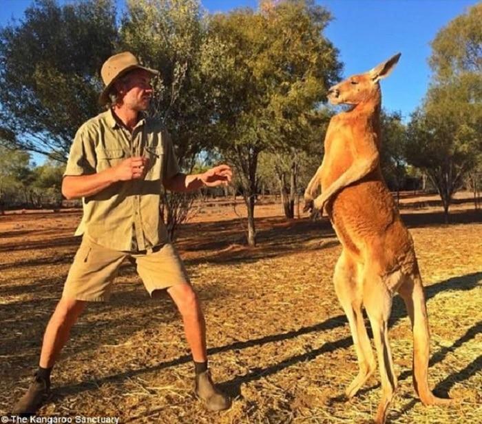 roger-le-kangourou-mort-australie-musclé