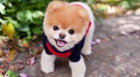 boo-chien-plus-mignon-du-monde-décède
