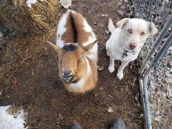 chien-bo-escapade-compagnons-chèvre