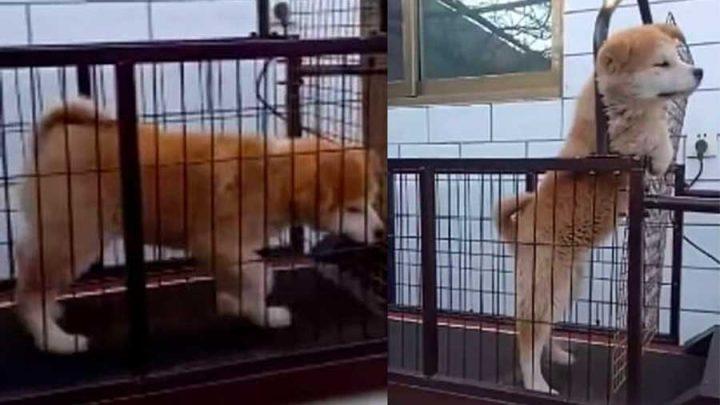 chien forcé à faire du tapis de course