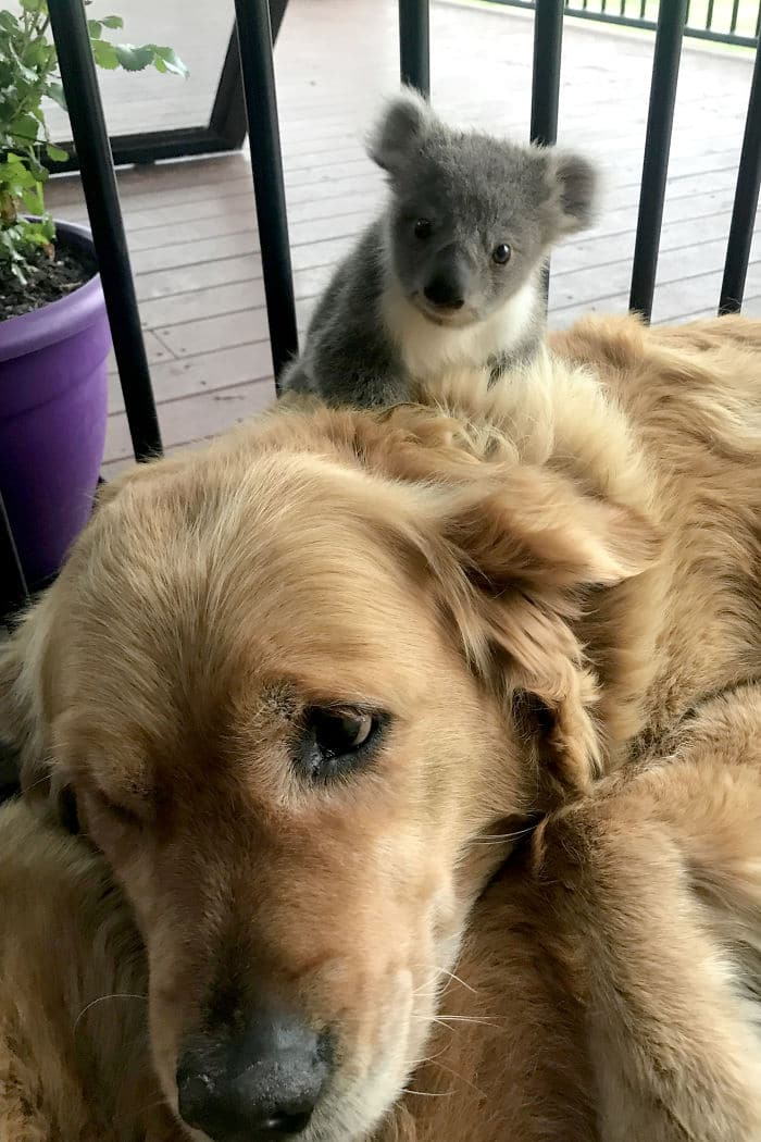 chien koala