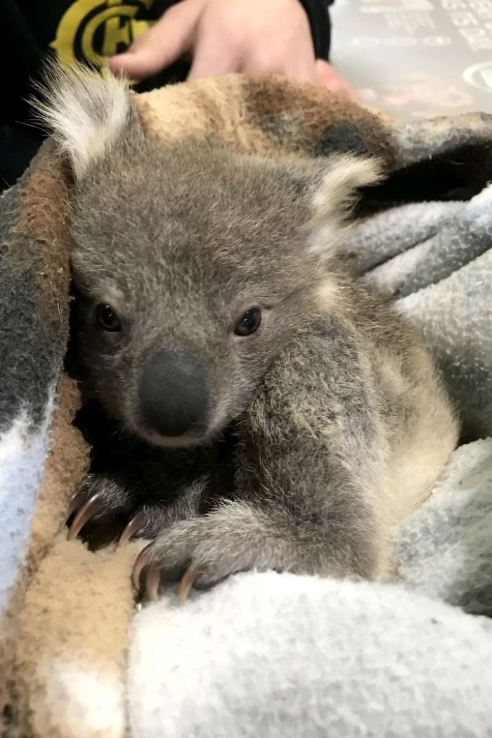 chien-koala