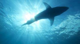 Le requin perdu : La nouvelle espèce de requin