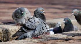 pigeons ville