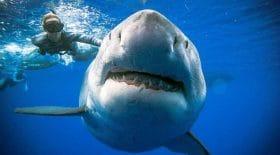 video-glacante-grand-requin-blanc-fonce-plongeur-devoile-dents-mortelles