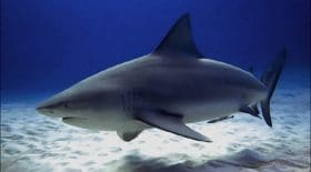 nouvelle-caledonie-suite-a-de-nombreuses-attaques-des-requins-les-autorites-vont-abattre-une-vingtaine-de-squale