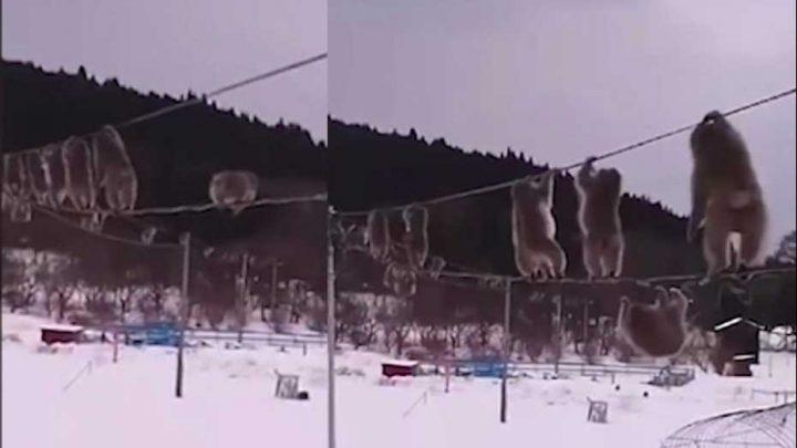 singes évitent neige câbles des lignes téléphoniques