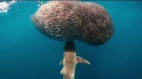 boule-poisson-requin-video