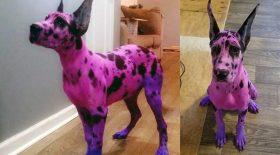 chien teint en rose dogue allemand
