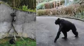chimpanzés ont pris la fuite zoo belfast