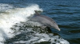 dauphin-échouer-atlantique-pêche-alarme
