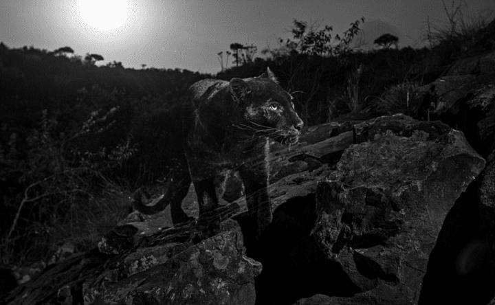 leopard-noir-photo-rare-kenya-clichés