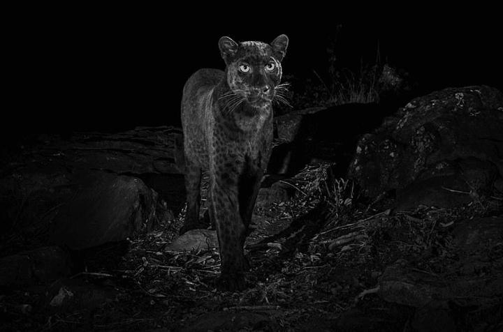 La première photo d'un léopard noir depuis 1909