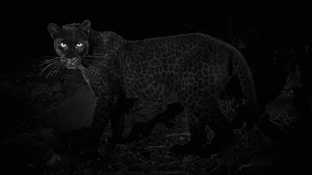 879a8231f51 Un léopard noir photographié pour la première fois depuis un siècle ...