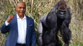 mike tyson combat de boxe gorille