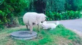 Mouton et chien