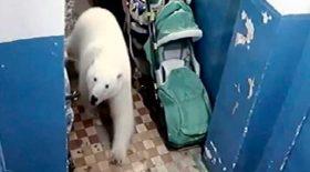 ours polaires sèment panique village