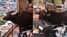 vaches sauvages supermarché rayon fruits et légumes
