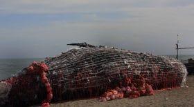 Une baleine meurt aux Philippines. 40 kilos de plastique découverts dans son ventre