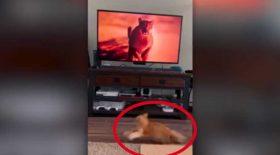 chat peur puma télévision