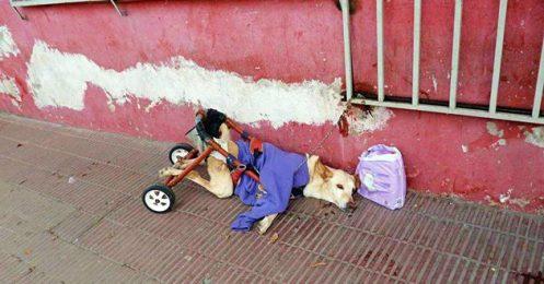 Une chienne paralysée et abandonnée