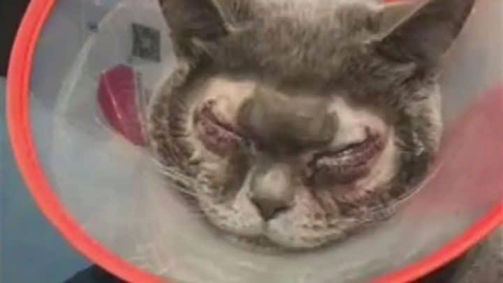 chirurgie esthétique animaux chat yeux bridés