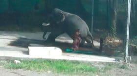 dresseur d'éléphant écrasé par animal