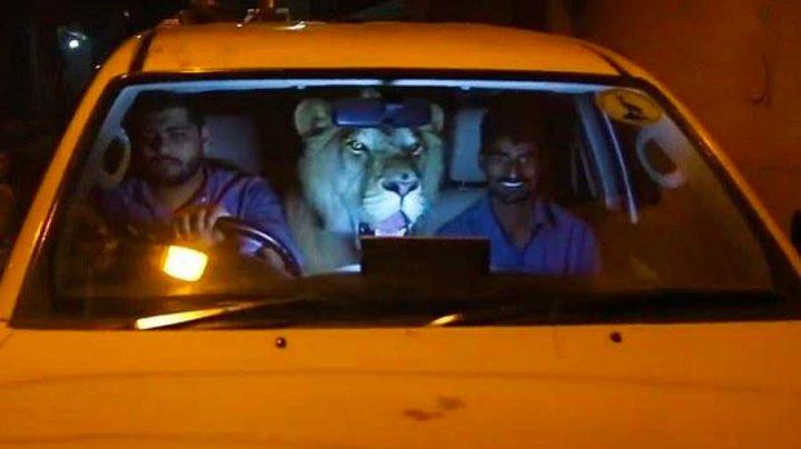 frères vivent avec un lion comme animal de compagnie