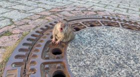 Rat coincé