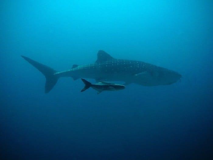 etude-japonaise-prouve-requin-baleine-serait-omnivore