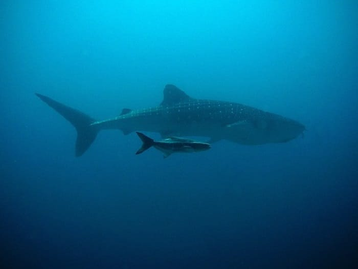 requin-baleine-piège-corde-video-sauvetage