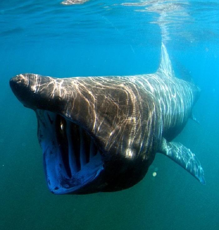 requin-pèlerin-plus-grand-requin-méditerranée-italie