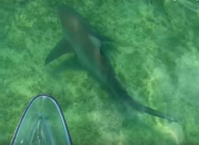 requin-taureaux-kayak-transparent-video-impressionnante