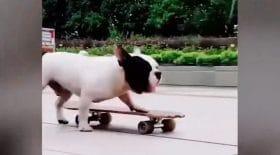 chien skateboard