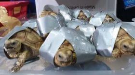 tortues-trafic-clandestin-adhésifs