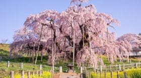 Cerisier en fleur japon