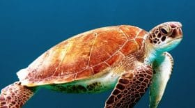 cette-tortue-voulait-revenir-sur-sa-place-natale-pour-pondre-ses-oeufs-et-finit-sur-une-piste-datterrissage