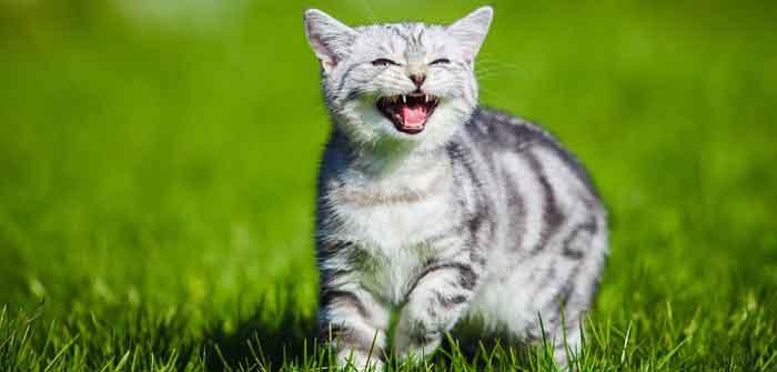 collier pour chat qui traduit les miaulement