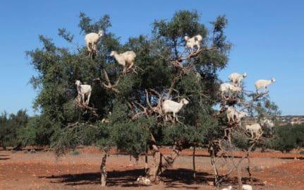 Chèvres marocaines maltraitées