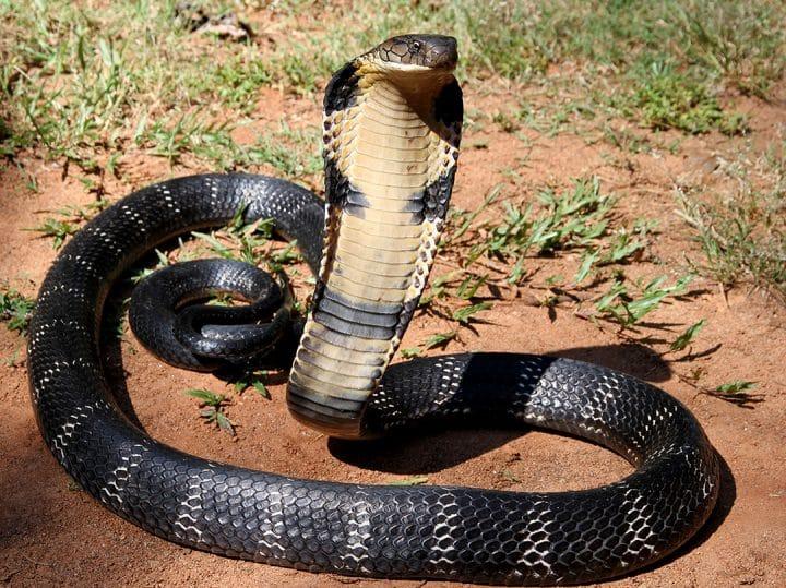 cobra-royal