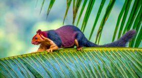 écureuil géant de l'inde multicolore arc-en-ciel