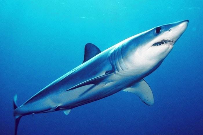les-requins-seraient-menaces-dextinction