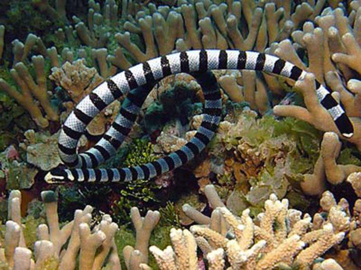 serpent-belcher2