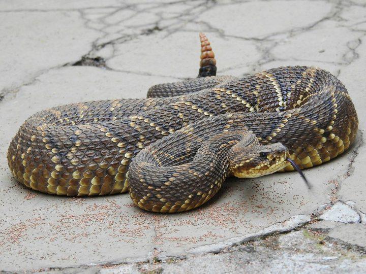 serpent-sonnette