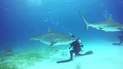 La vidéo impressionnante de plongeurs encerclés par 70 requins-bouledogues