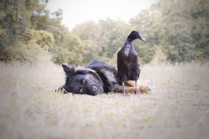 canard chien 7