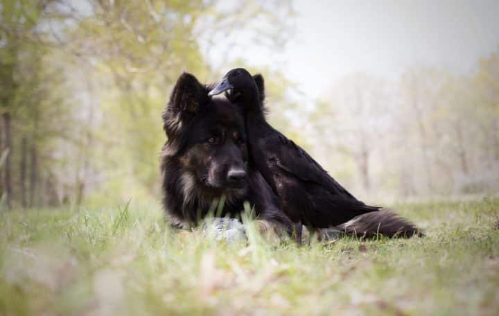 canard chien 6