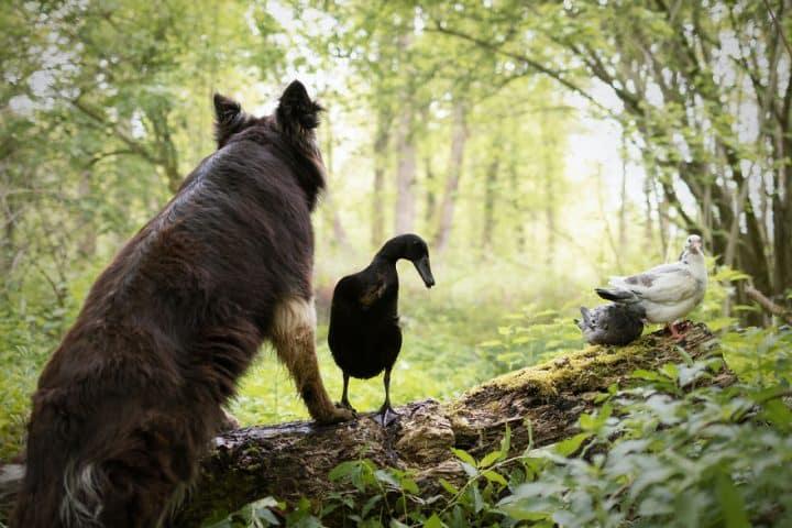 canard chien 5